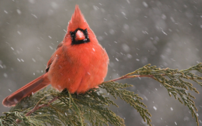 Quarantined: Cardinals Have No Teeth — and other things you learn birdwatching online