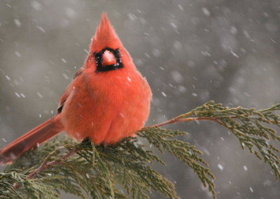 Cardinals Have No Teeth — and other things you learn birdwatching online